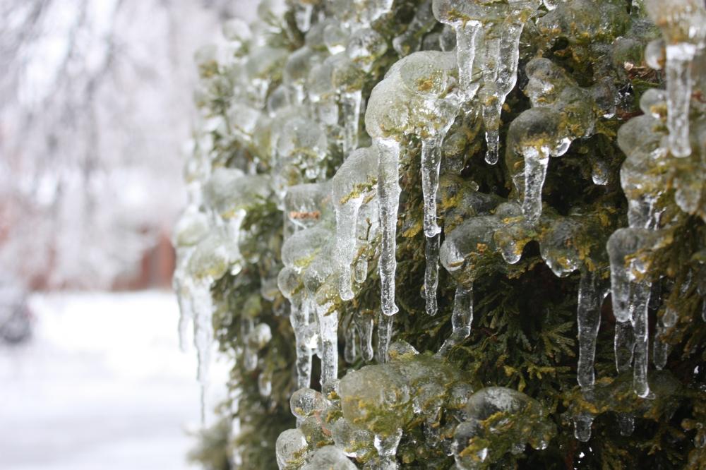 Evergreen, ever frozen